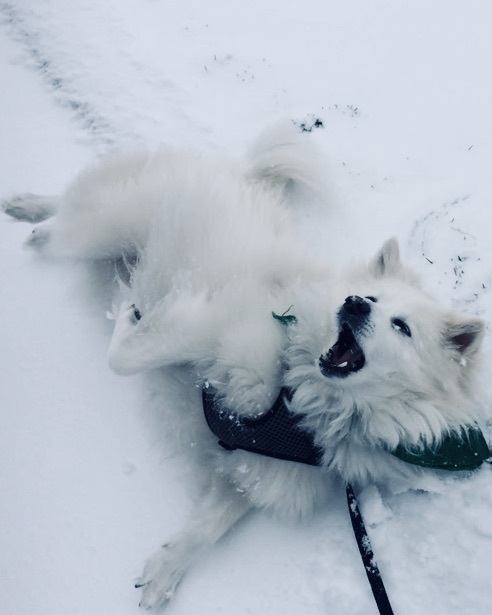 Ace - the American Eskimo rolling in the snow