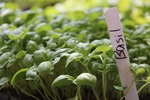 Basil microgreen label