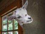 Goat 2153622 1280
