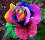 Rainbow rose   13177531 10156836174375175 3953567124972681751 n