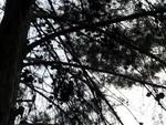 Pine 300x225