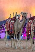 Janadriyah camel calendar