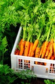 Crated carrots %281%29