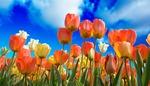 Tulips 3251607 1280